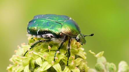 rose chafer on ivy flower