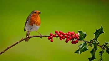 Robin on holly branch with green background