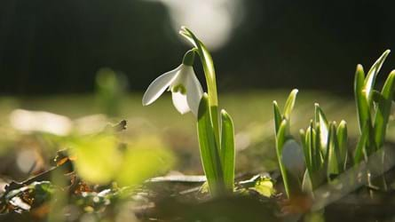 Snowdrop in early spring