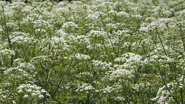Cow parsley covering field in Dorset