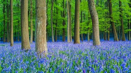 bluebells in full bloom covering the woodland floor