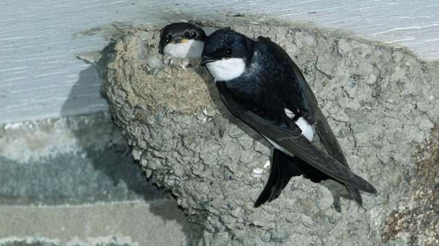 House martin adult on nest looking out