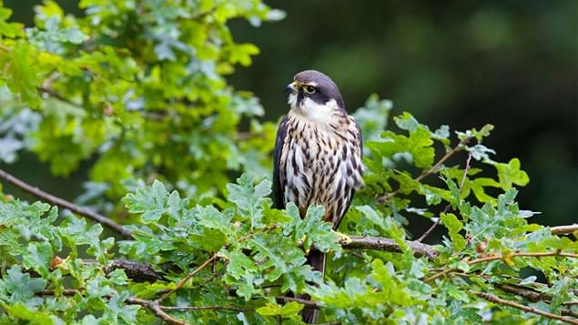 hobby perched on oak tree