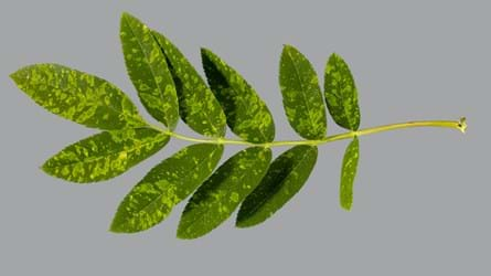 Rowan leaf infected by European mountain ash ringspot associated virus