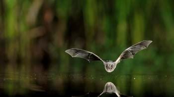 Barbastelle bat flying low over water