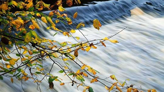 Autumn leaves overhanging weir, Nidd Gorge