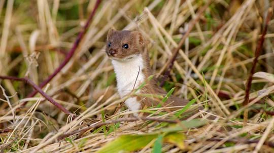 Stoat emerging from long grass