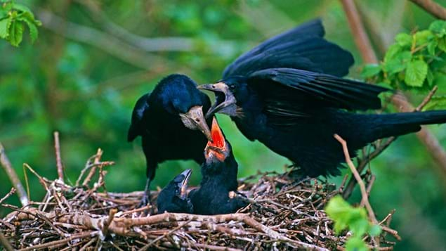 Rook feeding young in nest