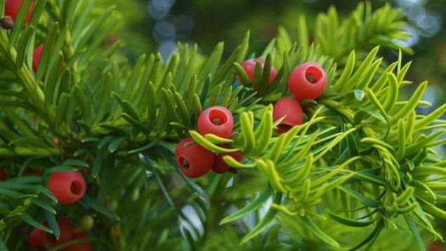Yew berries and leaves close-up