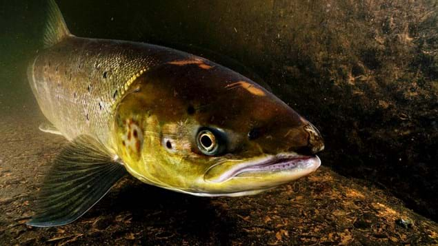 Underwater close up of a female Atlantic salmon in a river