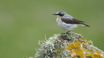 Wheatear adult male