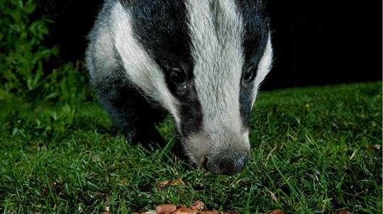 Male badger eating peanuts