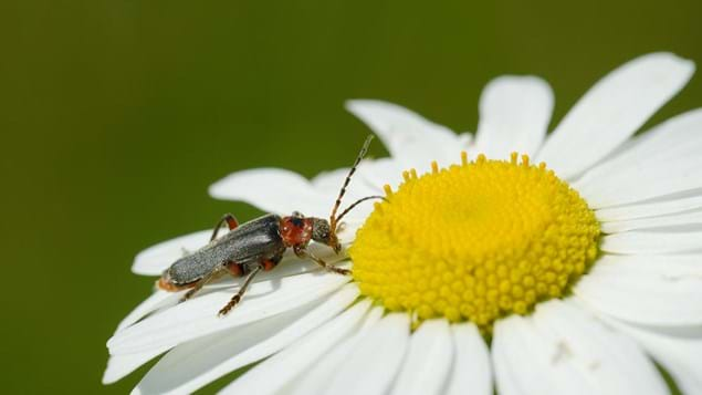 Oxeye daisy and soldier beetle close-up