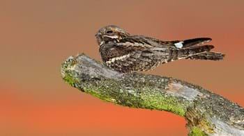 Nightjar male perched on a branch at dusk