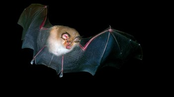 Lesser horseshoe bat in flight