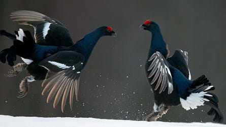 Black grouse males fighting in the snow