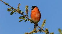 Bullfinch on branch feeding with blue sky in the background