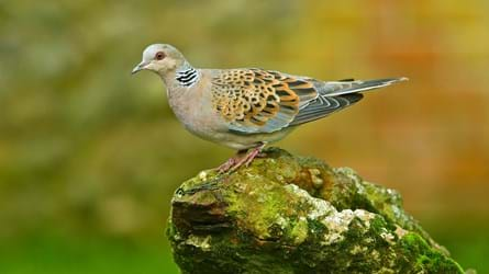 turtle dove on mossy rock