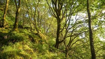 Mossy woodland slope, Crinan Wood