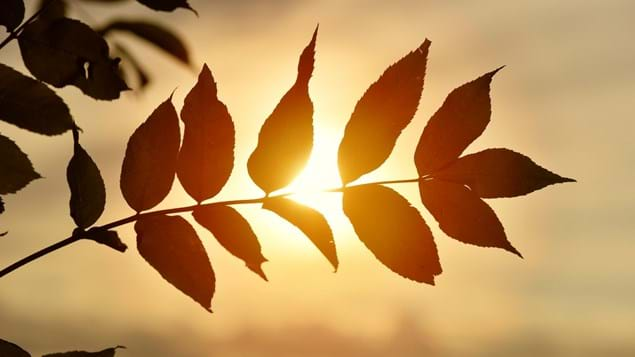 Ash leaves backlit by an orange sunset