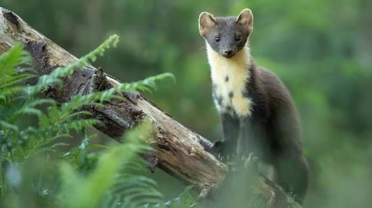 Pine marten on tree branch