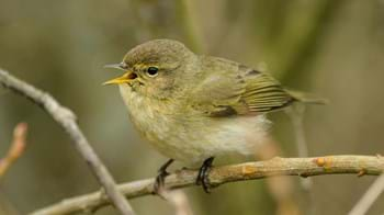 chiffchaff singing on branch
