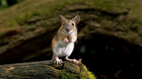 yellow-necked mouse standing on hind legs
