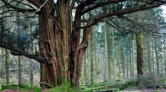 Yew tree trunk, Great Knott Wood