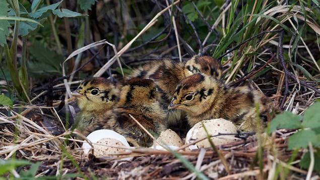 Black grouse chicks in nest with broken shells