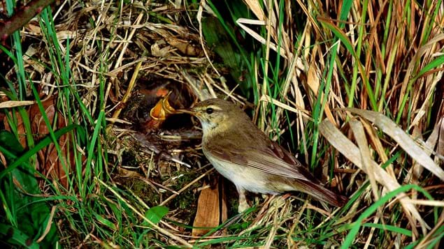 Willow warbler adult and chicks in nest