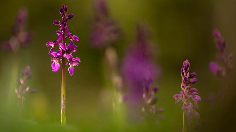 Early purple orchid with blurred background