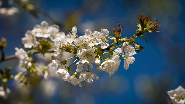 sour cherry flowering blossom