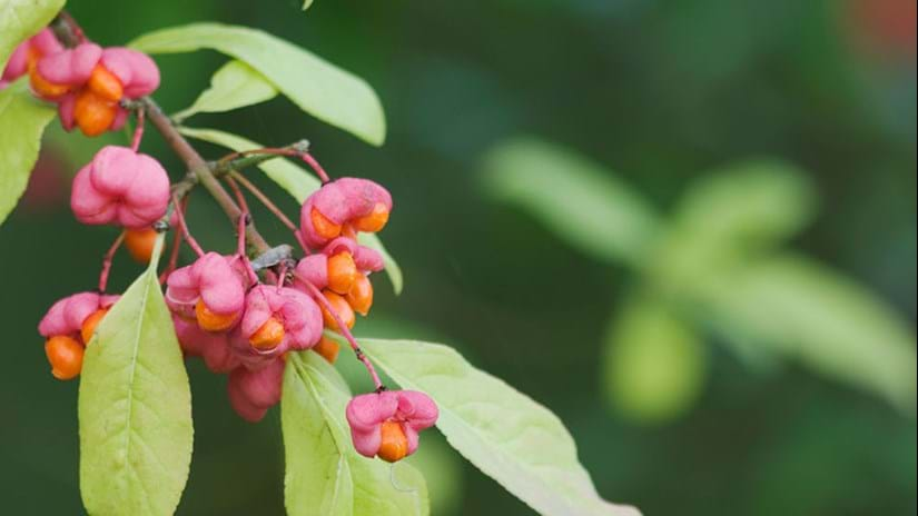 Spindle berries in autumn