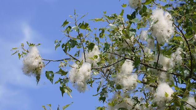 Black poplar seeds