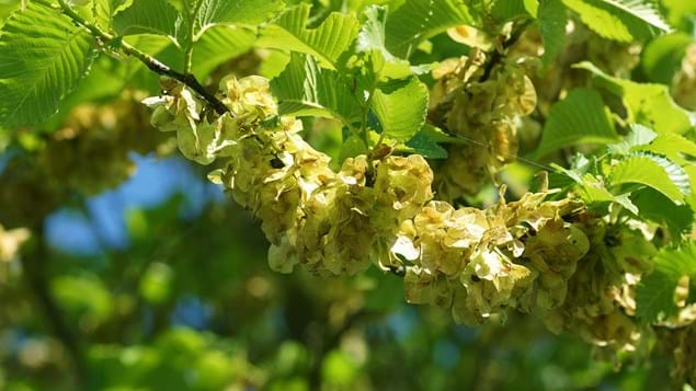 field elm flower