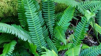 Hard fern fronds