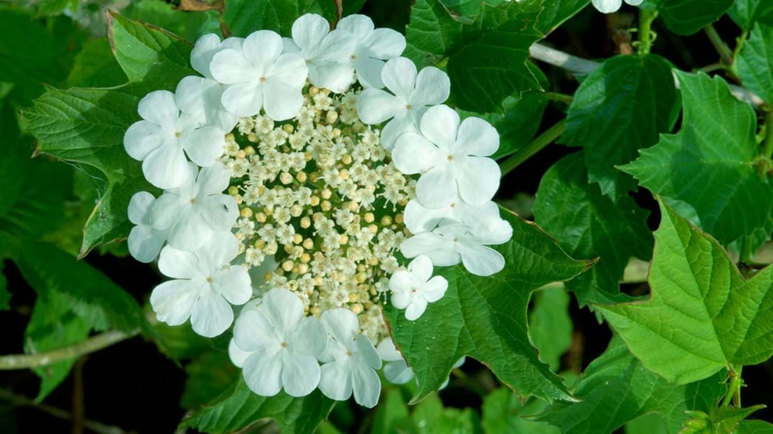 Guelder rose flowers surrounded by ring of sterile flowers