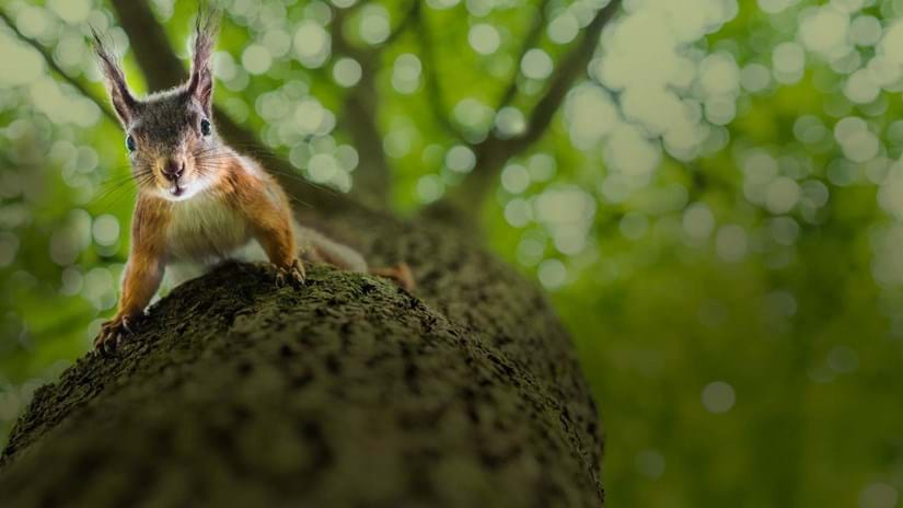 Red squirrel looks into camera as it climbs down a tree trunk.