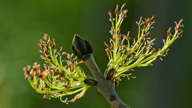 Close-up of ash tree young shoots budding blossom