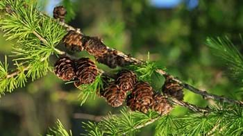 European larch cones