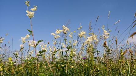 Meadowsweet flowering in hay meadow