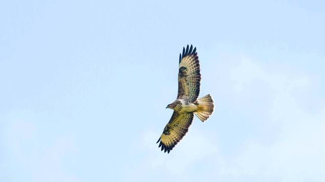 Buzzard in flight from below