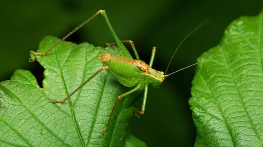 A speckled bush cricket male on bramble leaves