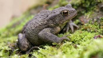 Common toad on moss