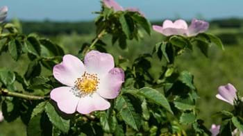 dog rose flower close-up