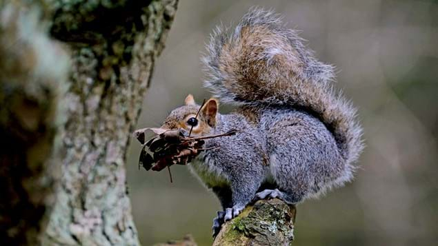Grey squirrel with nest material
