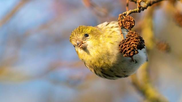 Siskin female feeding on alder cone