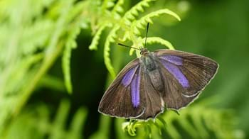 Purple hairstreak perched on bracken