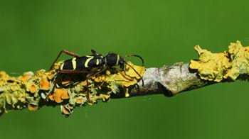 Wasp beetle on a branch