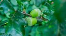 Close up of two green acorns in an oak tree